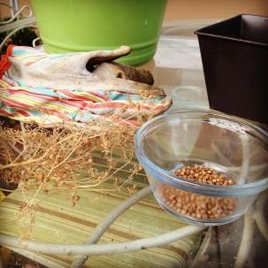 Harvesting coriander